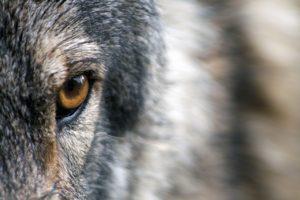 wolf-1352242_1280